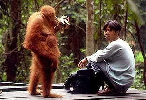 Bukit Lawang - One of orangutans is being taken care at Bukit Lawang.