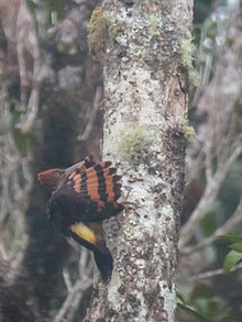 Orange-backed Woodpecker.jpg