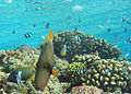 Orange-lined Triggerfish2.jpg