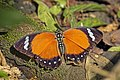Orange forester (Euphaedra alacris).jpg