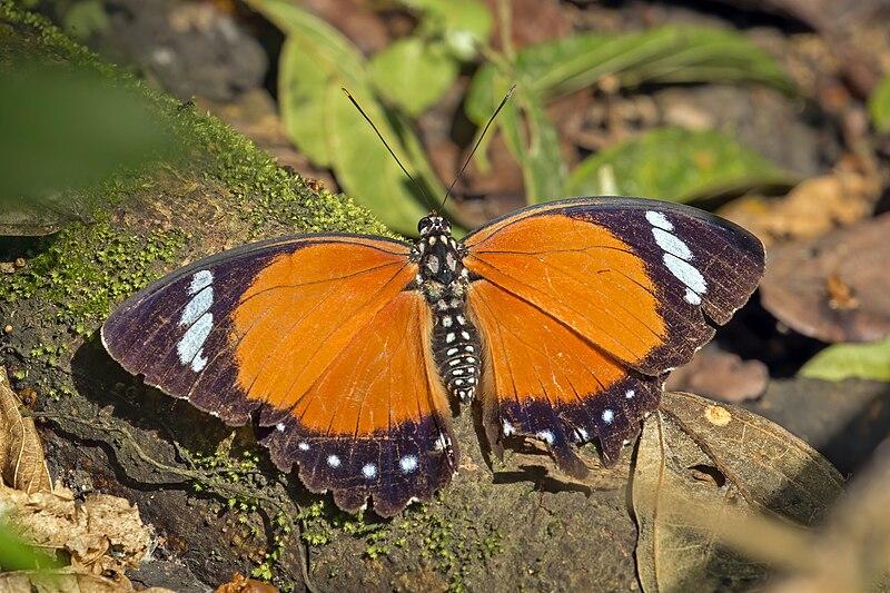 Bộ sưu tập cánh vẩy 5 - Page 13 800px-Orange_forester_%28Euphaedra_alacris%29