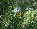 Orchard Oriole. Female. Icterus spurius (38278469192).jpg