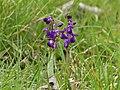 Orchis bouffon Beleymas.jpg