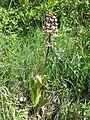 Orchis purpurea sl18.jpg