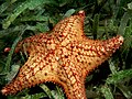 Oreaster reticulatus (Cushion Sea Star).jpg