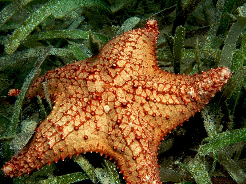Oreaster reticulatus (Cushion Sea Star)