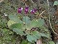 Oreocharis auricula 9553371.jpg