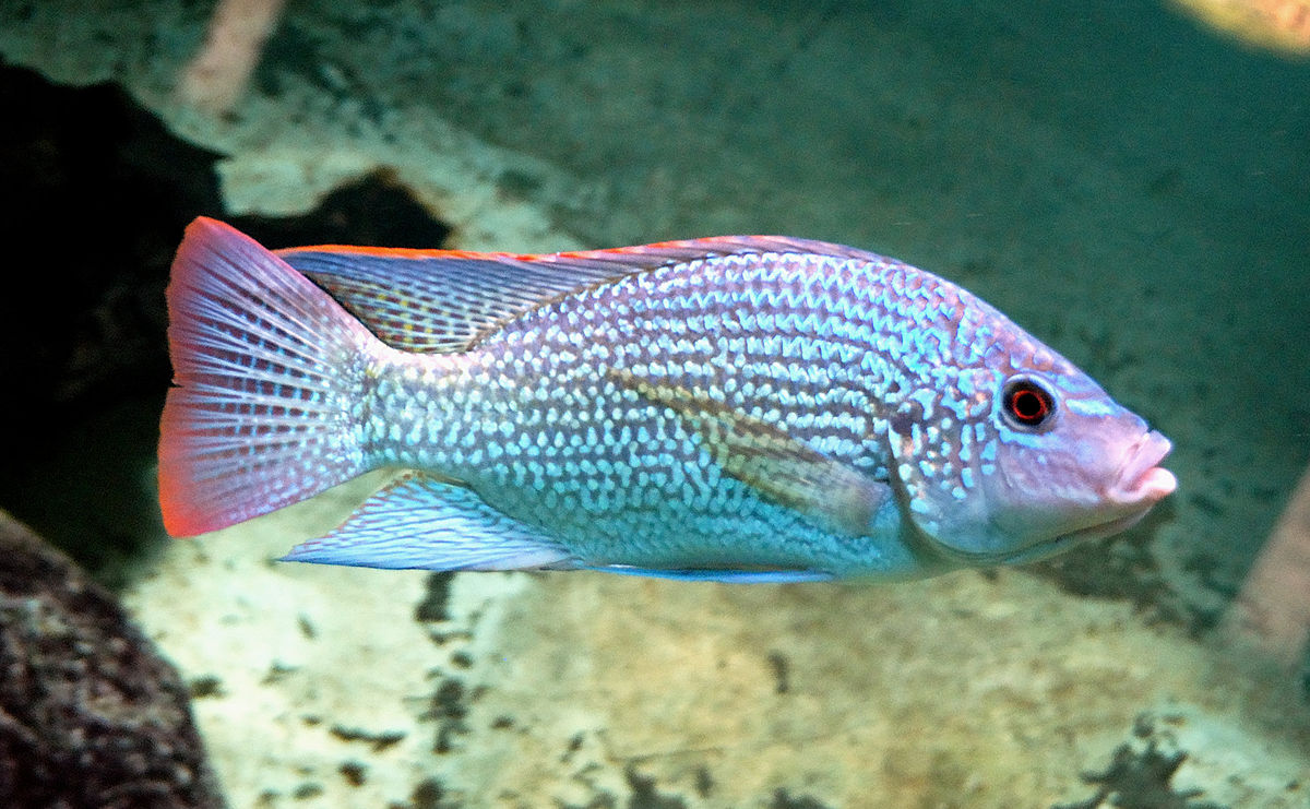 Oreochromis wikipedia for Lake tanganyika fish