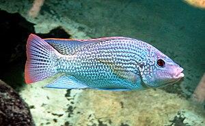 Oreochromis - O. tanganicae