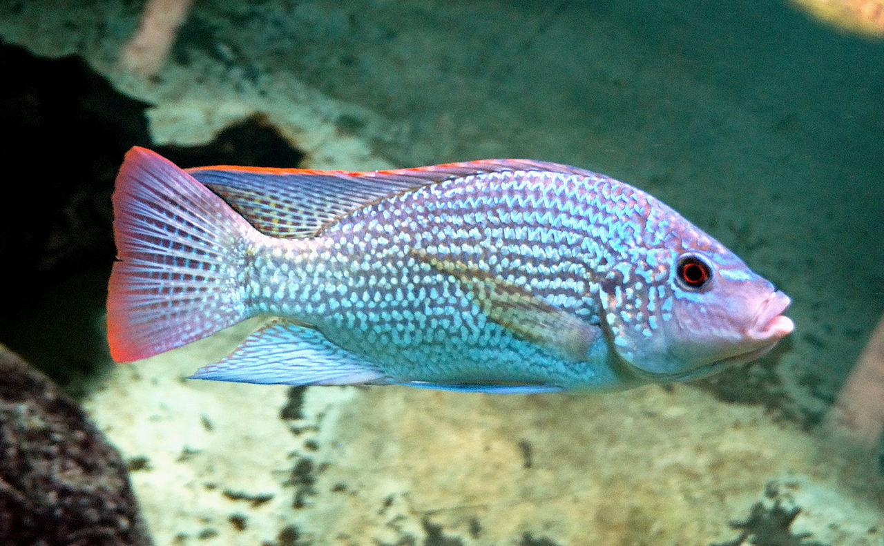1000 ideas about african cichlids on pinterest cichlids for Cichlid fish tank