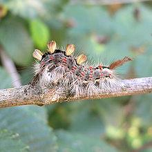 Schmetterlinge Wikipedia