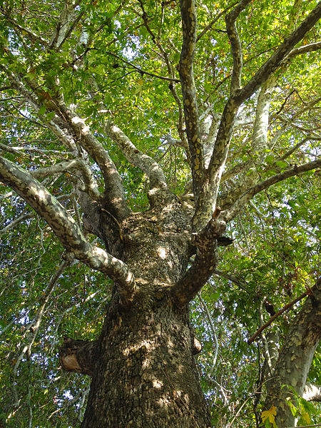 File:Oriental Plane tree - Platanus orientalis - Doğu Çınarı, Arslanköy 04.JPG