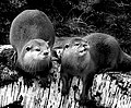 Oriental small-clawed otters - Flickr - Ella's Dad.jpg