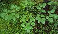 Oroxylum indicum leaves.jpg
