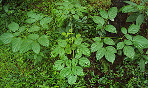 Oroxylum indicum leaves.jpg