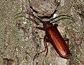Orthosoma brunneum - Brown Prionid - (a long-horned beetle species) (48244916956).jpg
