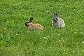 Oryctolagus cuniculus - European rabbit.jpg