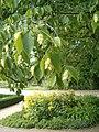 Ostrya virginiana BotGardBln07122011D.JPG