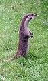 Otter 4 (2761804521).jpg