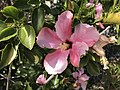 Our Hibiscus (51104951797).jpg