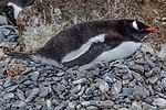 Our first landing on the Antarctic mainland, at Boown Bluff. at the N tip of the Antarctic peninsula.Gentoo Penguins (Pygoscelis papua). (25698207270).jpg