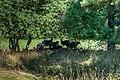 Ovis aries NZ7 2374 (51326385123).jpg