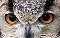 Owl Eyes (4572888238).jpg