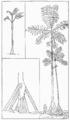 PSM V60 D400 Iriartea exorrhiza.png