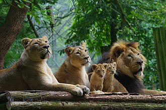 Paignton Zoo - Image: PZ lion pride
