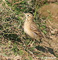 Paddyfield Pipit at Hodal I IMG 8951.jpg