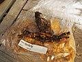 Paeonia l. 'Myra MacRae' 2014 (Wild).jpg