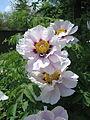 Paeonia rockii (9692808481).jpg