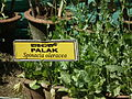 Palak - spinach plant from lalbagh 2348.JPG