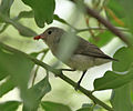 Pale-billed Flowerpecker (Dicaeum erythrorhynchos) with a feed in Hyderabad, AP W IMG 7721.jpg