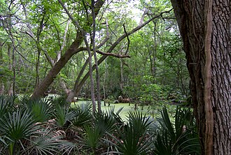 Palmetto State Park - One of the bogs of the park surrounded by the namesake palmettos.