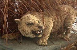 Panthera pardus adersi.jpg