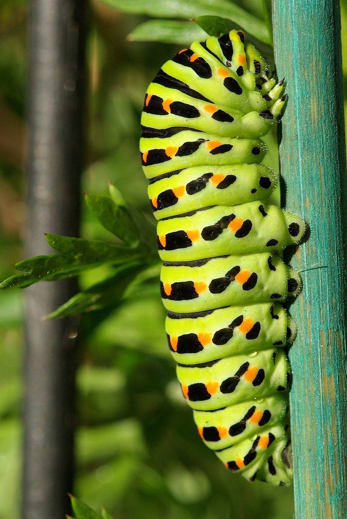Vidlochvost feniklový (Papilio machaon) - larva (húsenica)