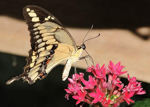 Papilio cresphontes.jpg