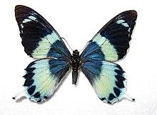 Papilio laglaizei male.JPG