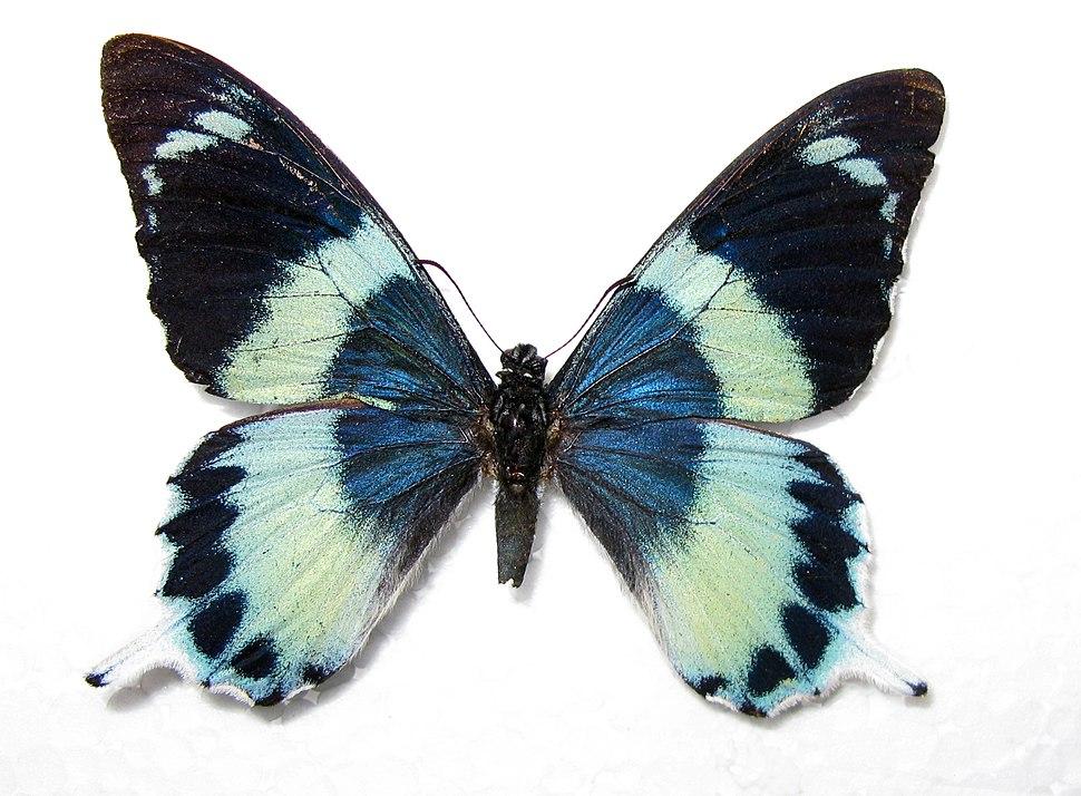 Papilio laglaizei male