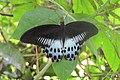 Papilio polymnestor Cramer, 1775 – Blue Mormon at Mayyil (3).jpg