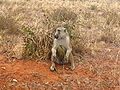 Papio cynocephalus sitting in Tsavo East National Park.jpg