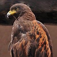 Parabuteo unicinctus Lion Safary5b.jpg