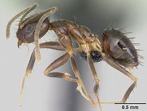 Nylanderia - Nylanderia vividula worker