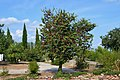 Parc municipal de Soneja, arbre de l'amor.jpg