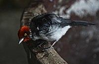 Paroaria gutalis Bird Kingdom Niagara.jpg