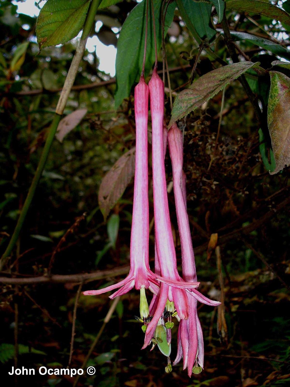 passiflora trinervia