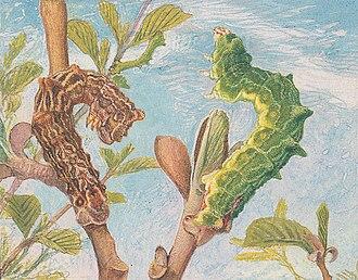 Large emerald - Image: Paul Robert Geometra papilionaria