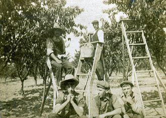 Vineland, Ontario - A 1912 depiction of peach-pickers.
