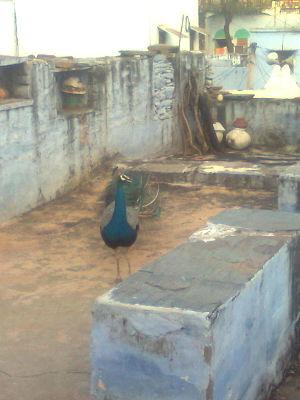 Kuteena - Image: Peacock at kutina
